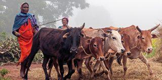 Christmas among the cows